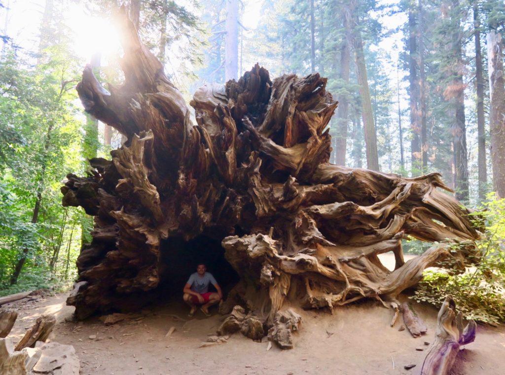 Racine d'un séquoias et loulou