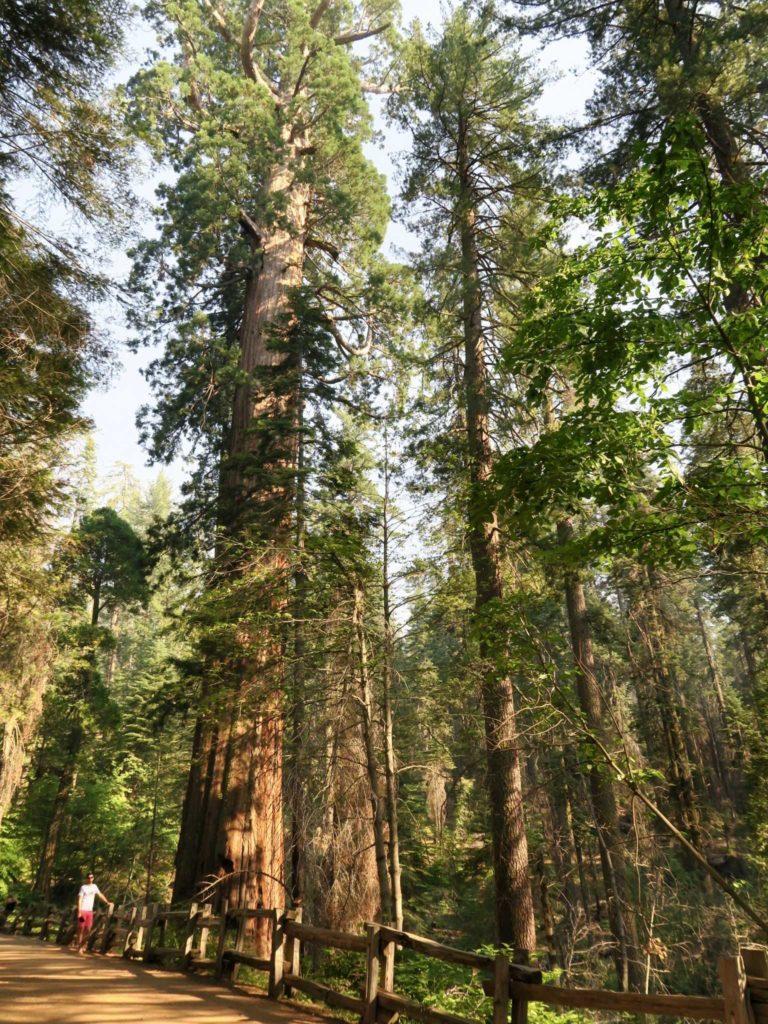 Merced Grove, un impressionant séquoias et loulou